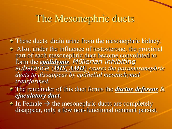 The Mesonephric ducts