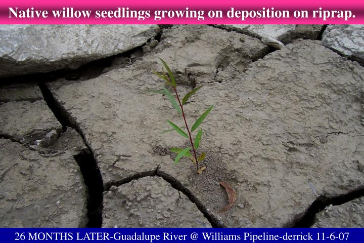 Native willow seedlings growing on deposition on riprap.