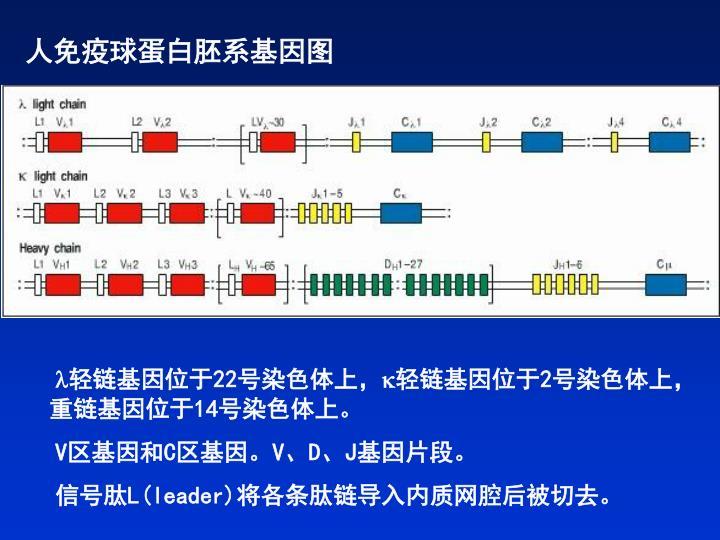 人免疫球蛋白胚系基因图
