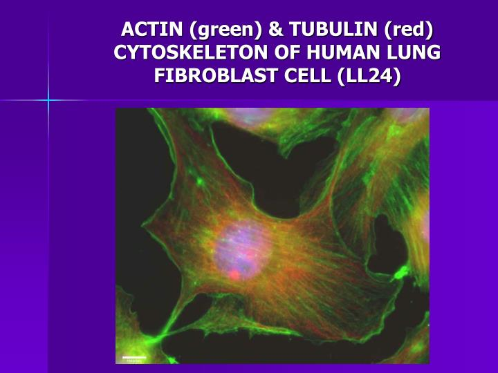 ACTIN (green) & TUBULIN (red) CYTOSKELETON OF HUMAN LUNG FIBROBLAST CELL (LL24)