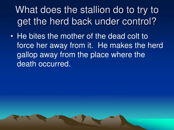 What does the stallion do to try to get the herd back under control?