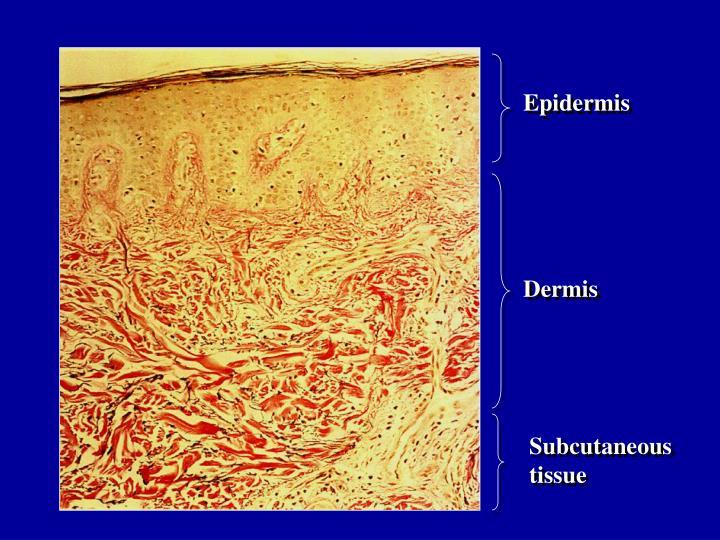 Epidermis