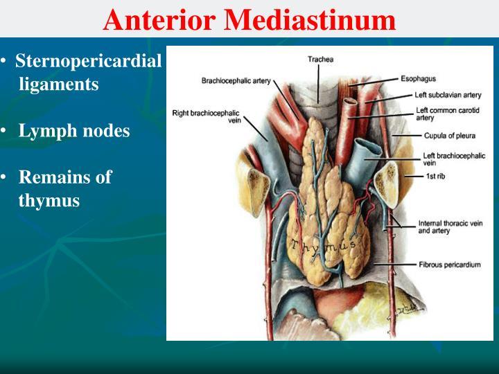 anterior mediastinum anatomy - photo #20