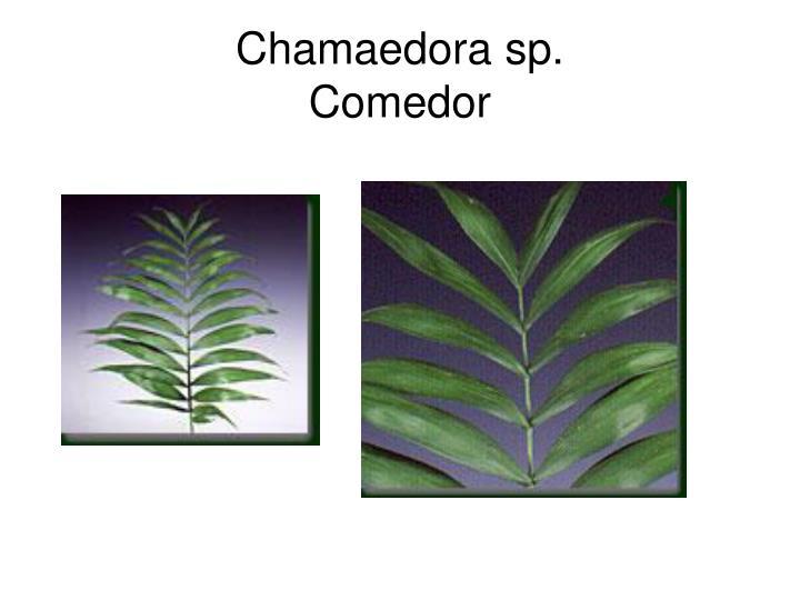 Chamaedora sp.
