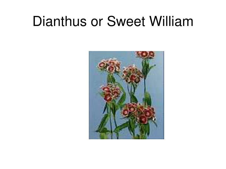 Dianthus or Sweet William