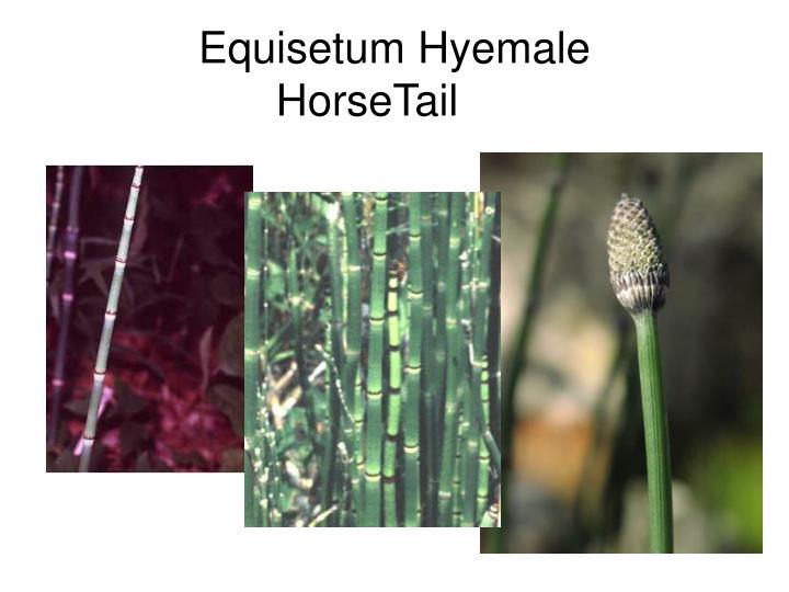 Equisetum Hyemale