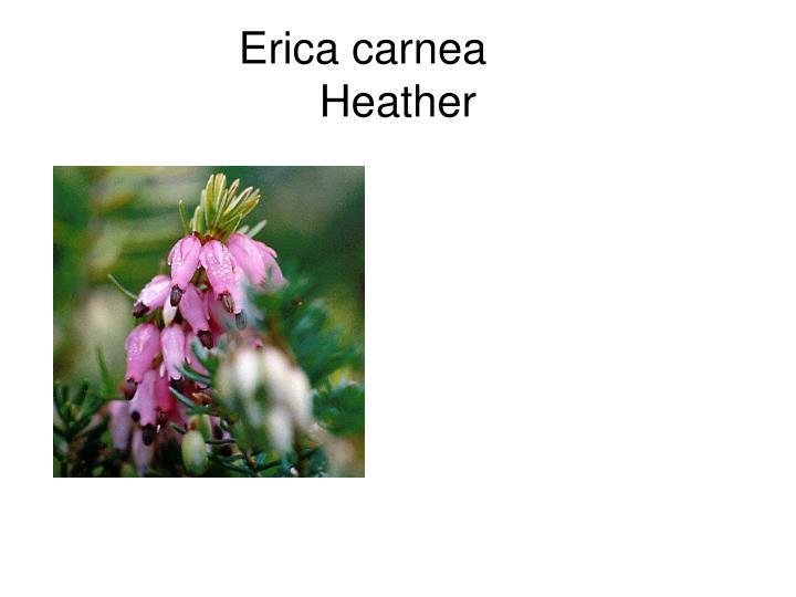 Erica carnea