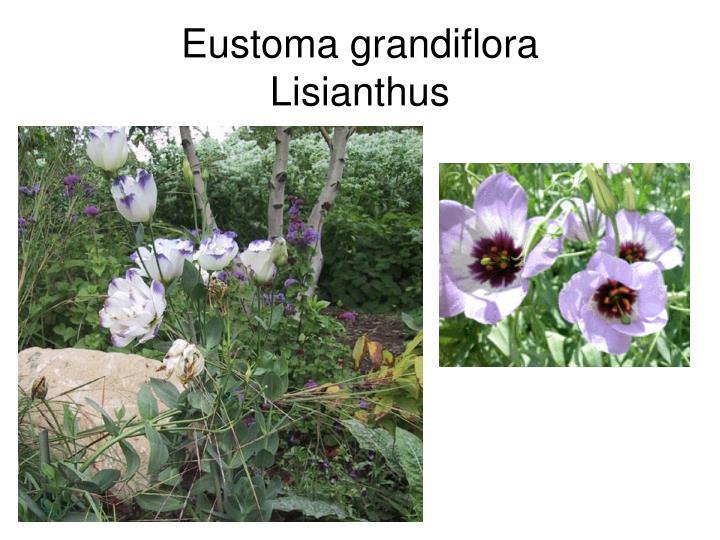 Eustoma grandiflora