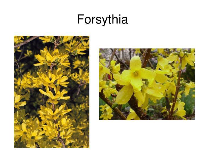 Forsythia