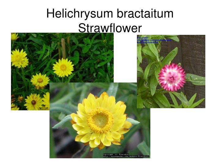 Helichrysum bractaitum