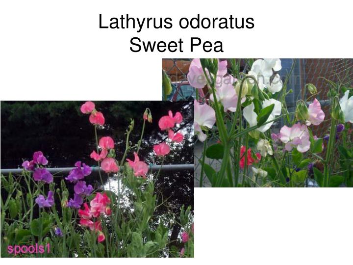 Lathyrus odoratus
