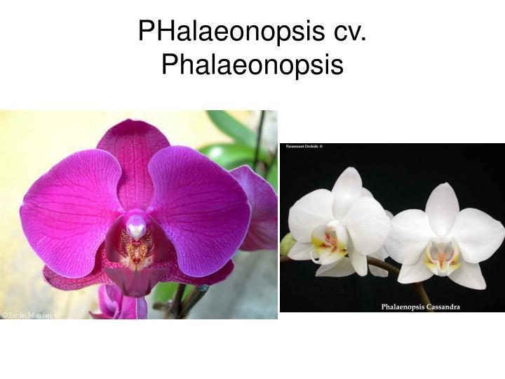 PHalaeonopsis cv.