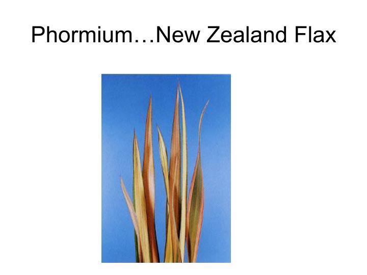 Phormium…New Zealand Flax