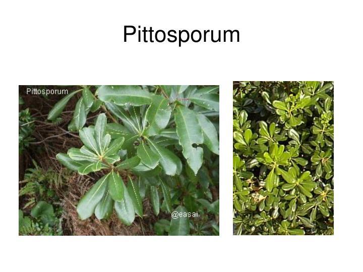 Pittosporum