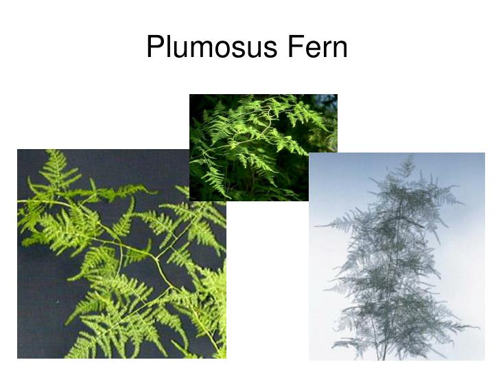 Plumosus Fern