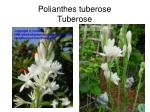 polianthes tuberose tuberose