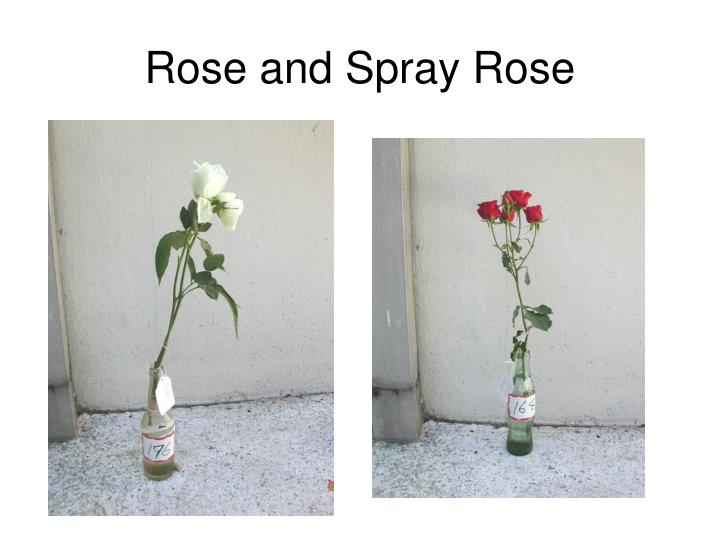Rose and Spray Rose