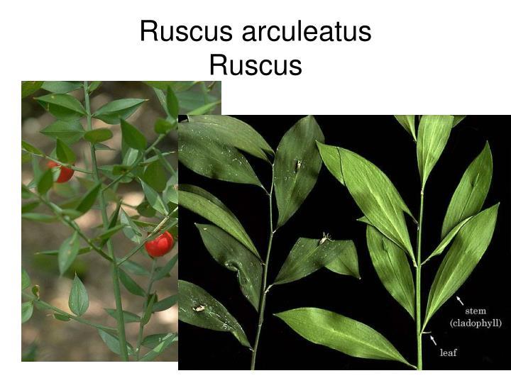 Ruscus arculeatus