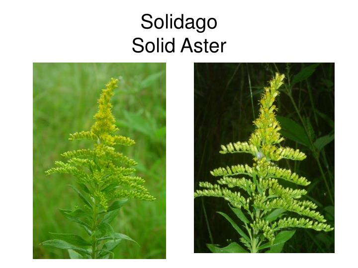Solidago solid aster