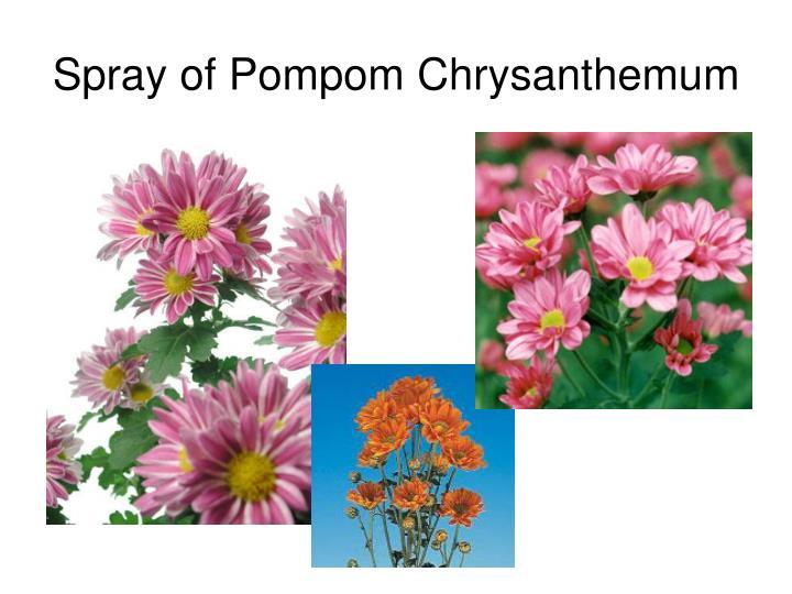 Spray of Pompom Chrysanthemum