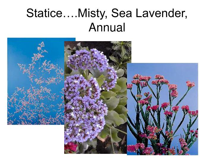 Statice….Misty, Sea Lavender, Annual
