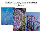 statice misty sea lavender annual