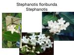 stephanotis floribunda stephanotis
