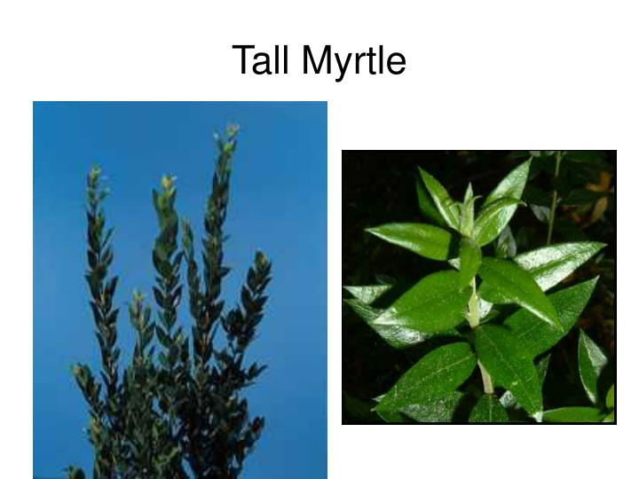 Tall Myrtle