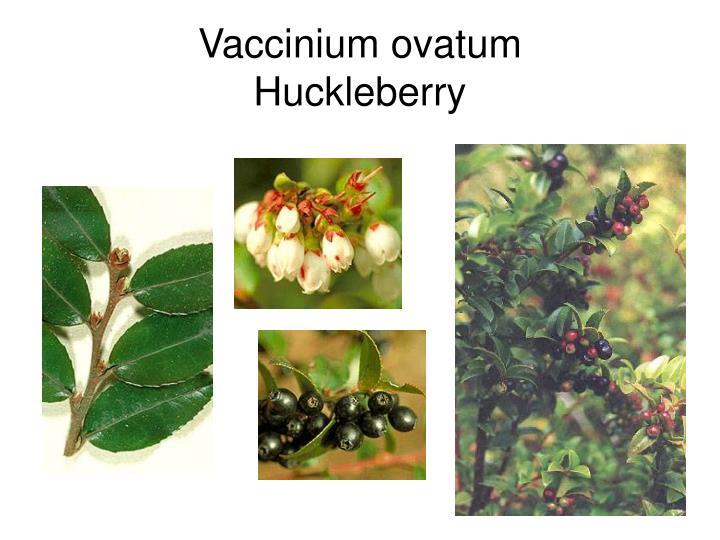 Vaccinium ovatum