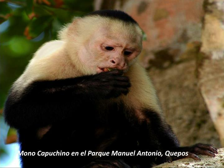 Mono Capuchin