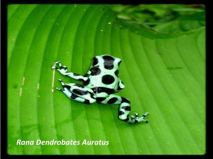 Rana Dendrobates Auratus