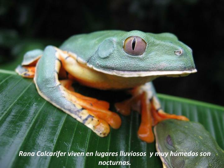 Rana Calcarifer viven en lugares lluviosos  y muy húmedos son nocturnas.