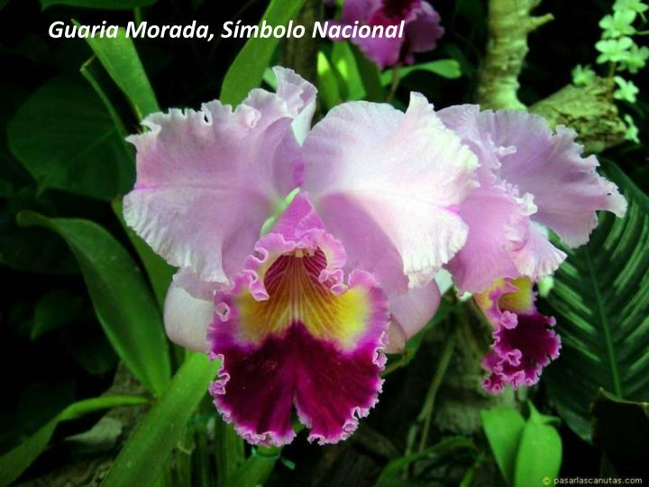 Guaria Morada, Símbolo Nacional