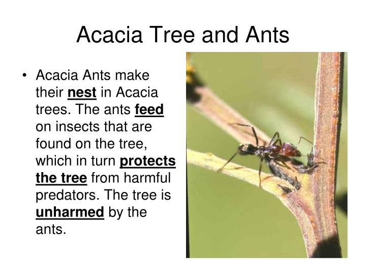 acacia tree and ants relationship