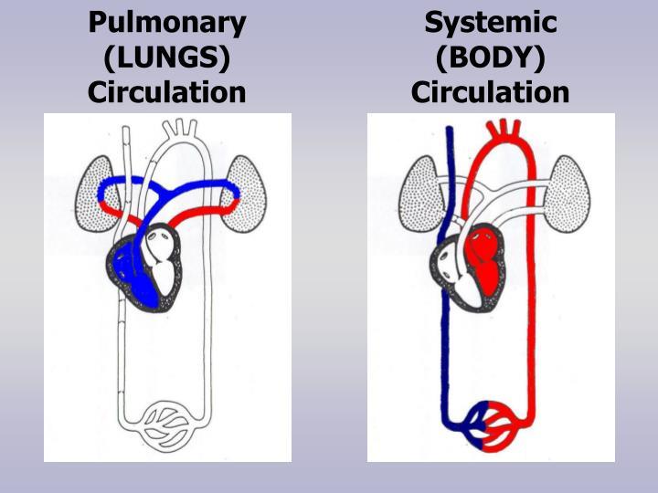 Pulmonary (LUNGS) Circulation