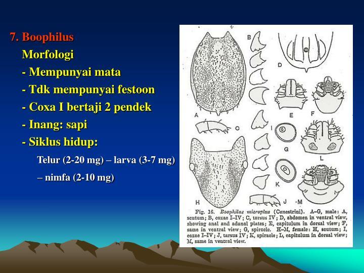 7. Boophilus
