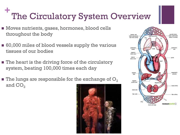 The Circulatory System Overview