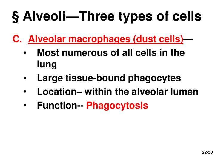 § Alveoli—Three types of cells