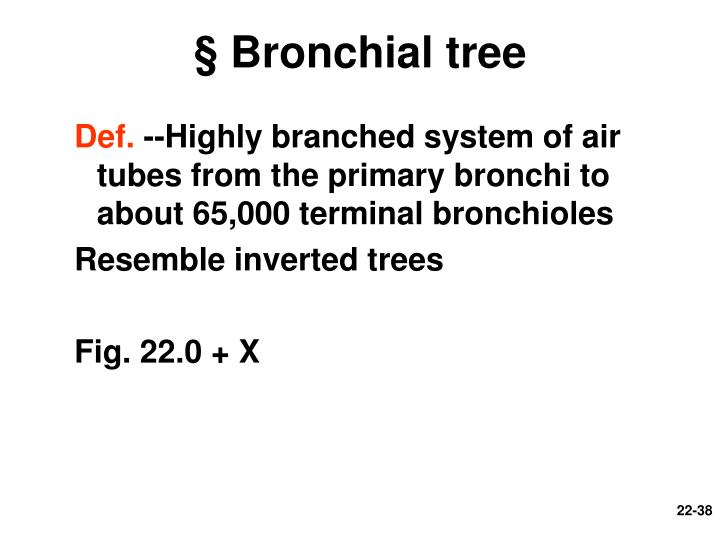 § Bronchial tree