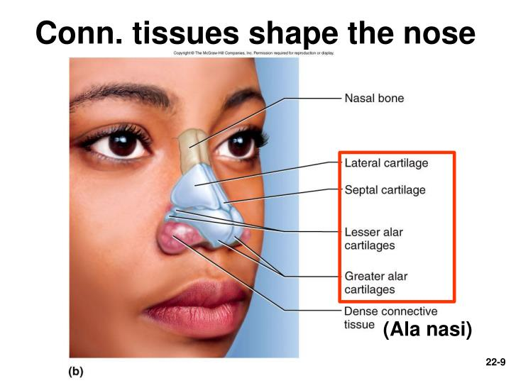 Conn. tissues shape the nose