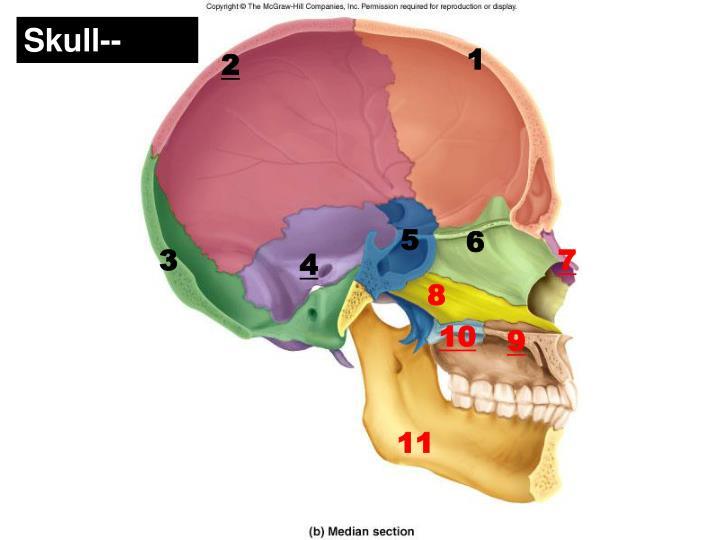 Skull--