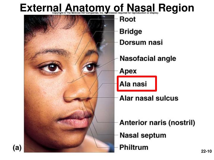 External Anatomy of Nasal Region