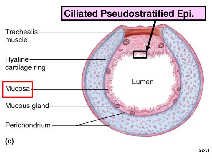 Ciliated Pseudostratified Epi.