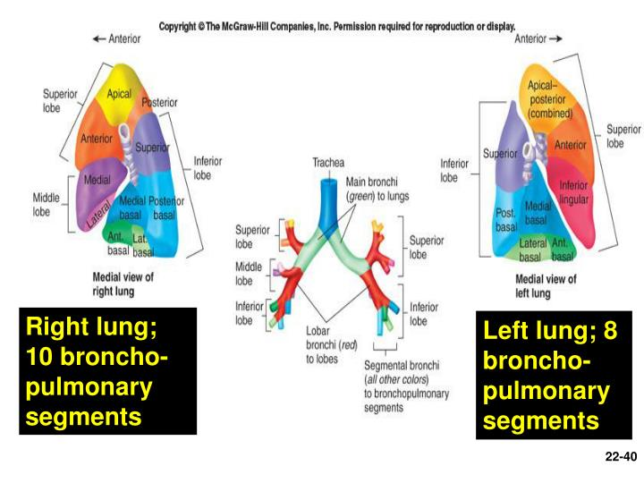 Right lung; 10 broncho-pulmonary segments