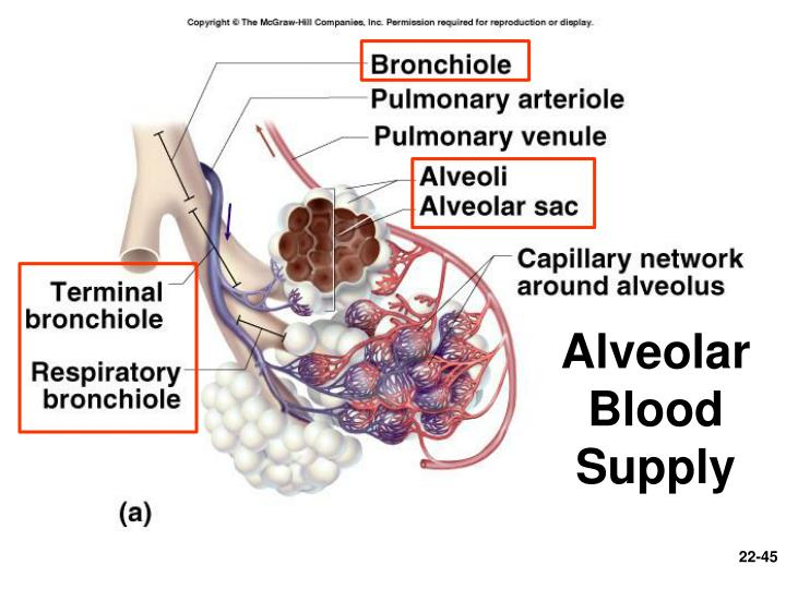 Alveolar Blood Supply