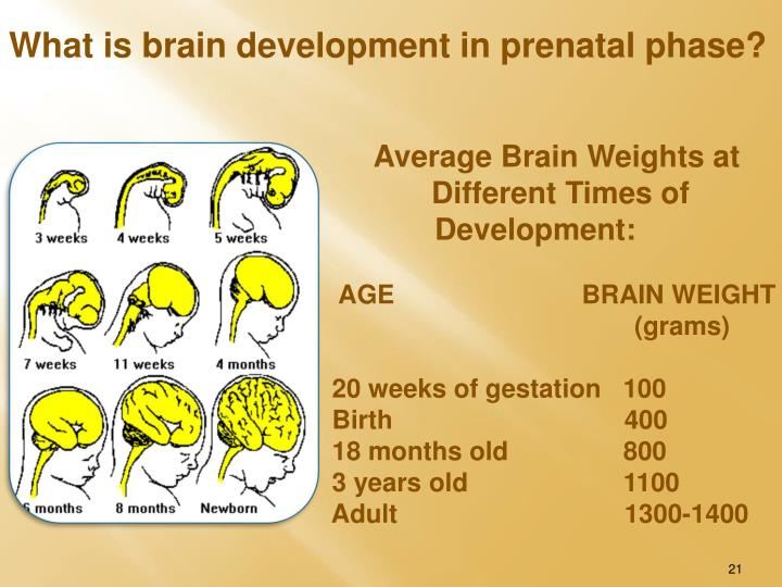 What is brain development in prenatal phase?