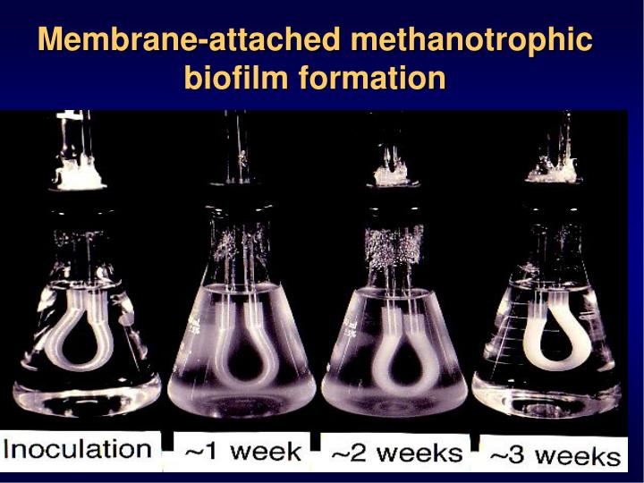Membrane-attached methanotrophic biofilm formation