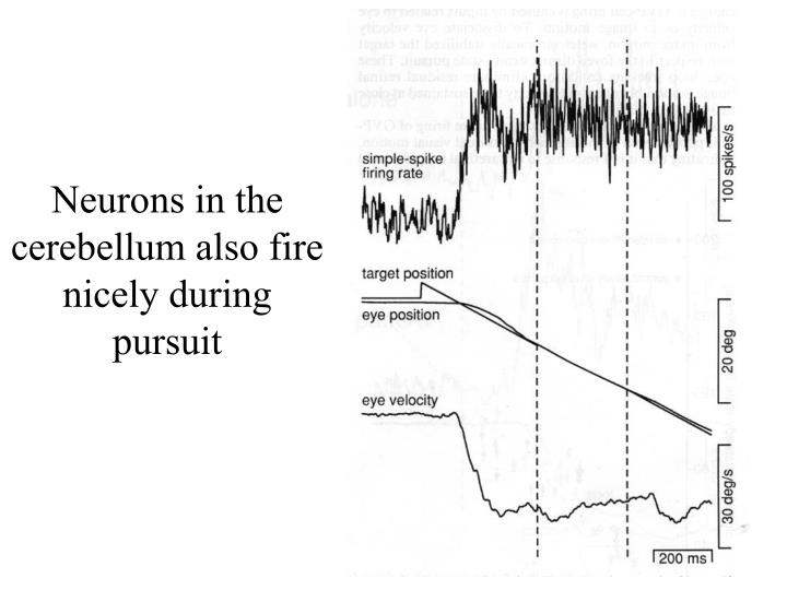 Neurons in the cerebellum also fire nicely during pursuit