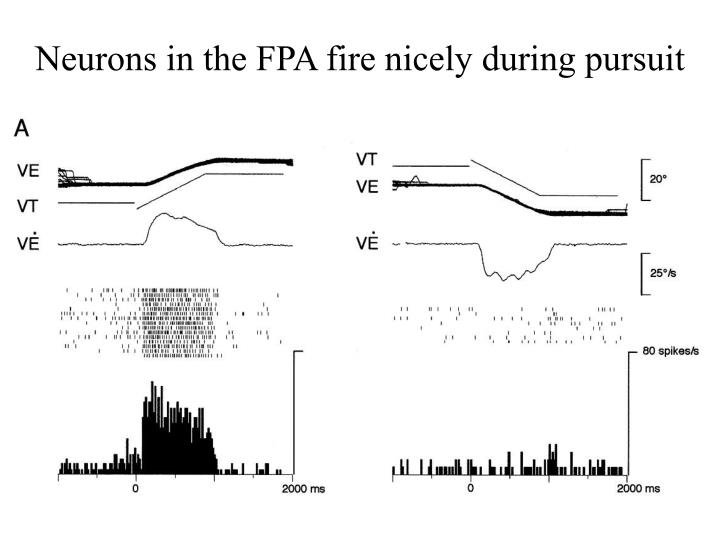 Neurons in the FPA fire nicely during pursuit
