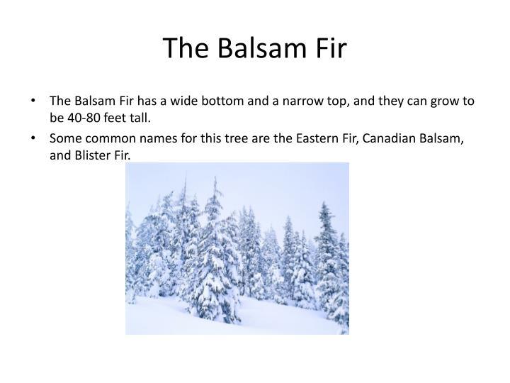 The Balsam Fir